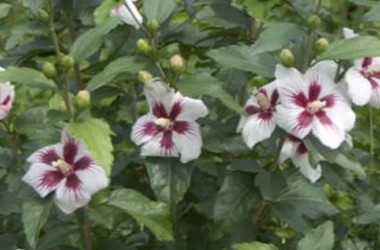Hibiscus syriacus White With Scarlet Eye