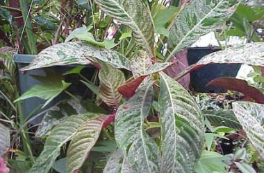 Hoffmannia ghiesbreghtii variegata
