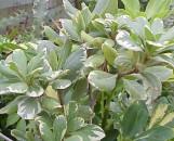 Pittosporum tobira variegatum