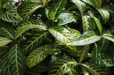 Sanchezia nobilis glaucophylla nana