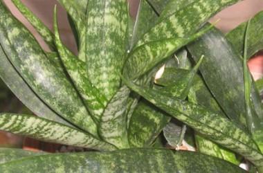 Sansevieria Okeechobee [hort.]