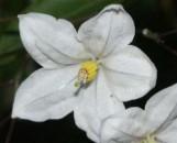 Solanum jasminoides album variegatum