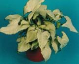 Syngonium podophyllum Holly M