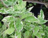Vitex trifolia variegata