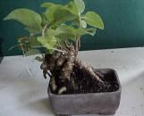 Boussingaultia [Anredera] cordifolia