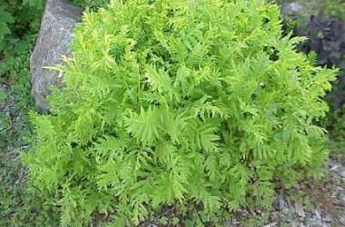 Artemisia vulgaris All Gold
