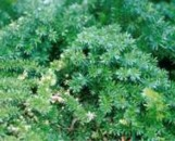 Protasparagus densiflorus mazeppa