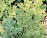 Protasparagus myriocladus