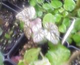 Begonia Silver Peridot