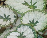 Begonia Silver Queen [hyb]