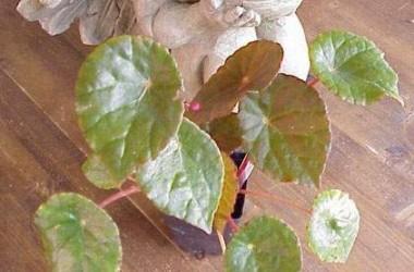 Begonia coriacea [hort]