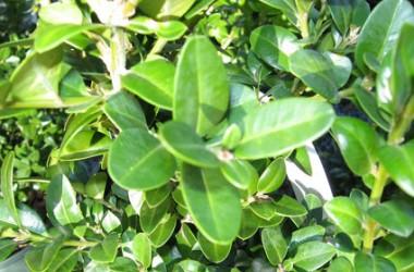 Buxus sempervirens John Baldwin