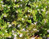 Cuphea hyssopifolia Palest Pinkie