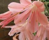 Cyrtanthus elatus Pink Diamond