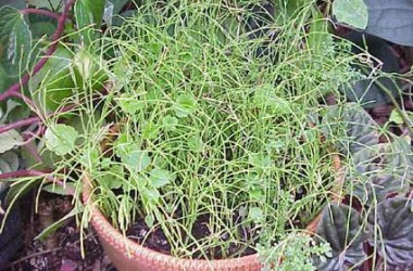 Equisetum scirpoides contorta