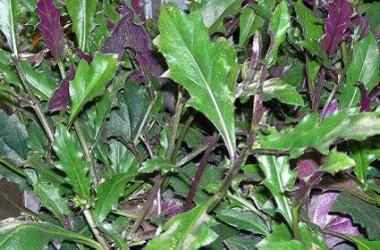 Gynura Bicolor Species Forms