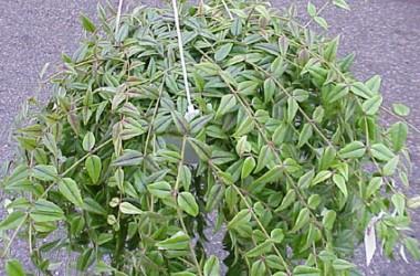 Hoya bella paxtonii