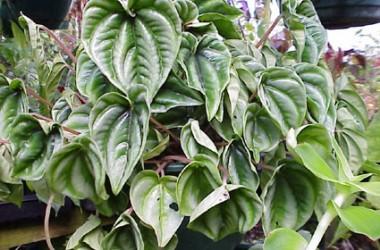 Peperomia griseo-argentea Wavy Gravy