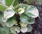 Peperomia obtusifolia Hicolor
