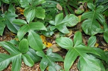 Philodendron Florida compacta [hyb]