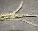 Rhipsalis cruciforme cruciforme
