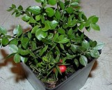 Ruscus aculeatus Wheeler's Self Fruiting