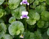 Viola hederacea [erpetion reniforme]