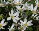 Zephyranthes [argyrosis] candida