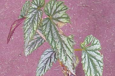 Begonia Lavinia [hyb]