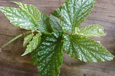 Begonia Nokomis [hyb]