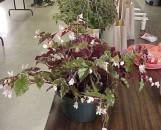 Begonia richmondensis purpurea