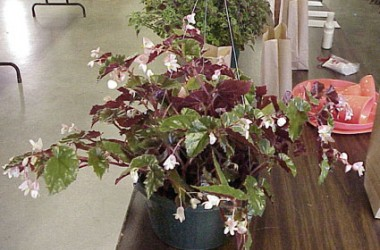 Begonia richmondensis purpurea