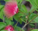 Calliandra emarginata minima