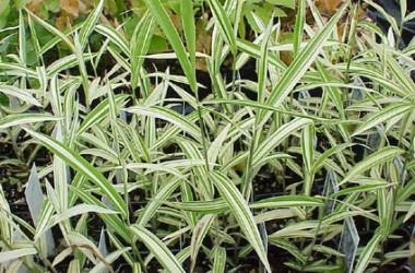 Chasmanthium latifolium River Mist