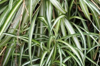 Chlorophytum comosum Streaker