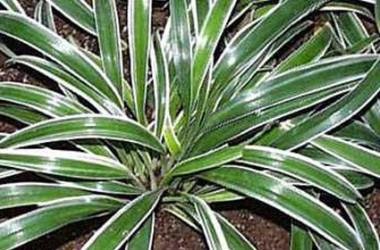 Chlorophytum bichetii [laxum]