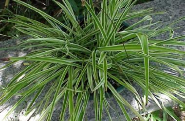 Chlorophytum comosum variegatum