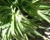 Chlorophytum comosum mandianum