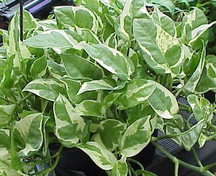 Epipremnum Scindapsis Aureum N Joy Variegatum