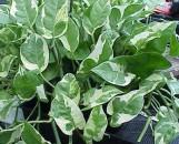 Epipremnum [Scindapsis] aureum N'Joy (variegatum)