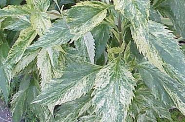 Eupatorium (ageratina) aromaticum Jocius' variegate