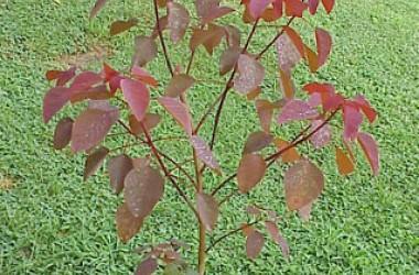 Euphorbia cotinifolia atropurpurea