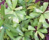 Ficus craterostoma