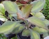 Kalanchoe beharensis variegata