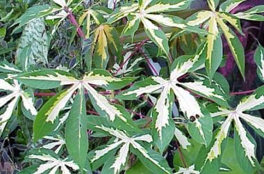 Manihot esculenta variegata