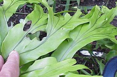Microsorium integrifolium (punctatum) cristatum
