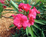 Nerium oleander Cardinal