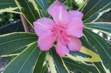 Nerium oleander variegatum plenum