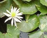 Nymphaea hybrida arc-en-ciel