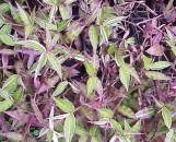 Oplismenus hirtellus variegatus